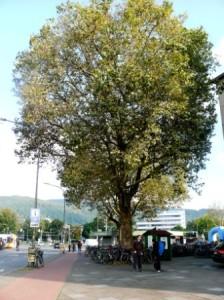Müssen diese Bäume am Bahnhof weg ?